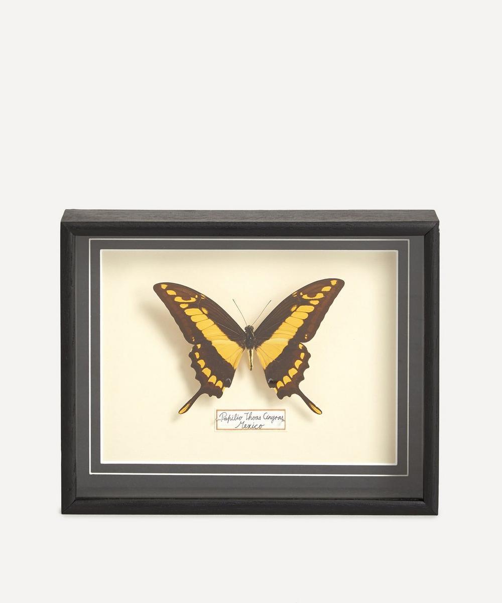 Les Couilles du Chien - Papilio Thoas Cinyras Framed Butterfly