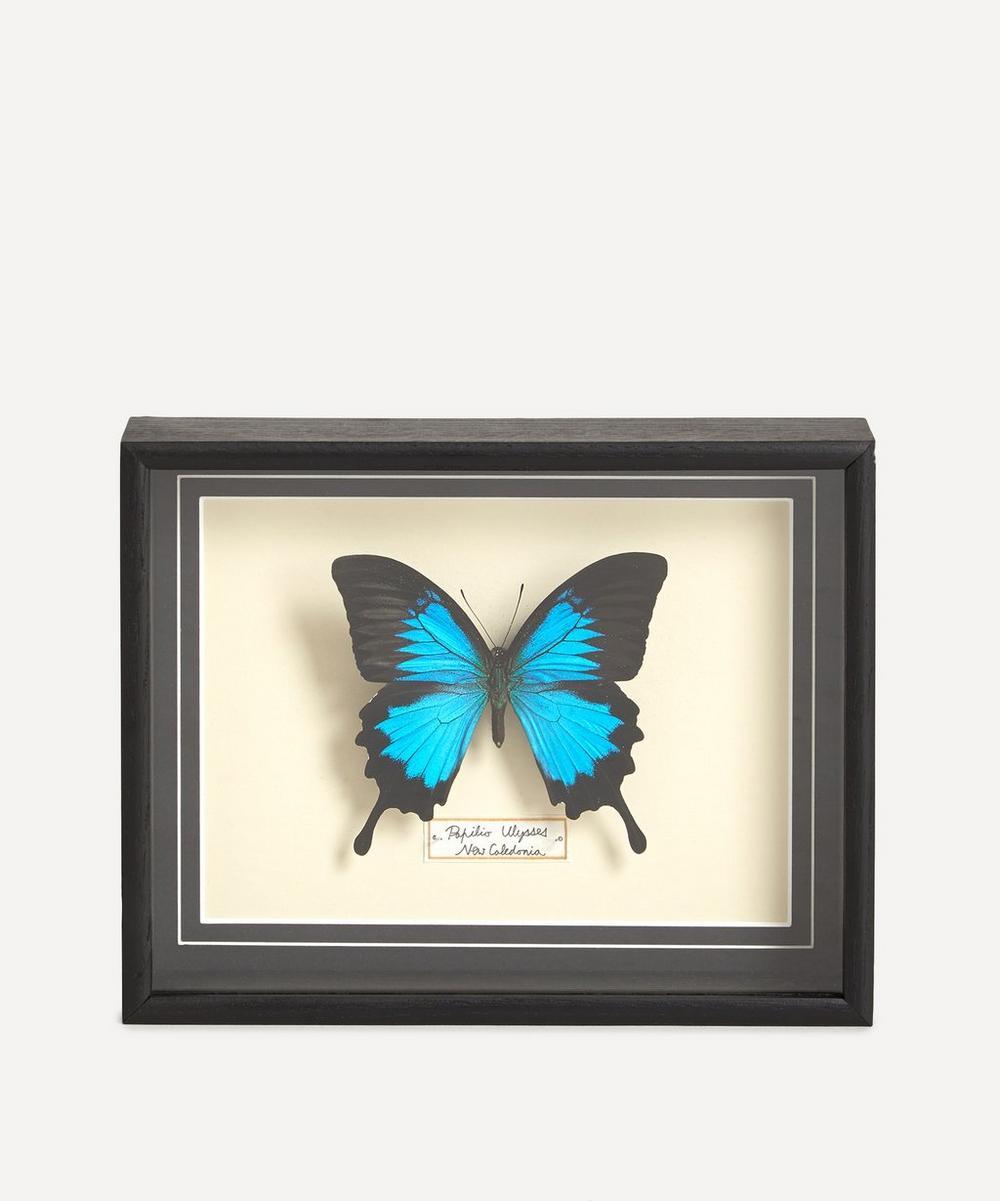 Les Couilles du Chien - Papilio Ulysses Framed Butterfly