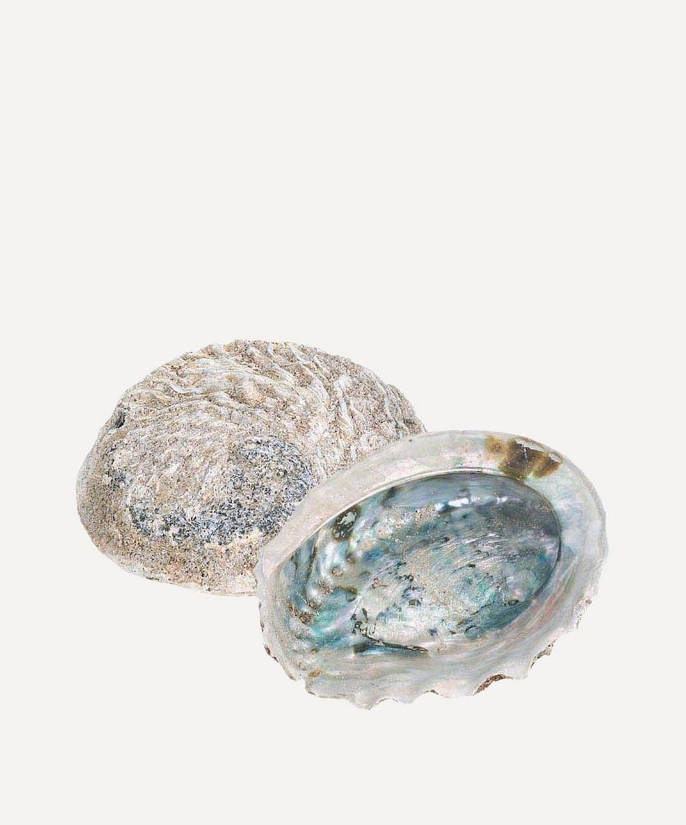 Quay Traders - Large Rough Unpolished Abalone